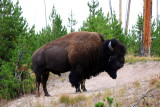 Bison near Norris - Yellowstone National Park