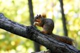 Squirrel in Morton Arboretum