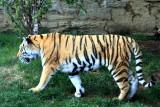 Philadelphia zoo - Amur Tiger