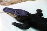 Philadelphia zoo - Crocodile