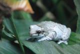Philadelphia zoo - Amazon Milk Frog
