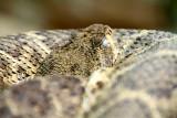 Philadelphia zoo - Western Diamondback Rattlesnake