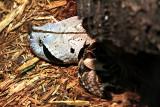 Philadelphia zoo - West African Gaboon Viper