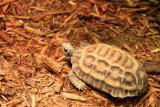Philadelphia zoo - Flat tailed spider tortoise