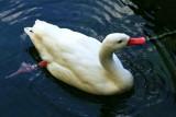 Philadelphia zoo - Coscoroba Swan