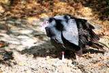 Philadelphia zoo - Vulture