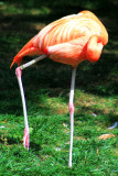 Philadelphia zoo - Caribbean Falmingo