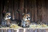 Philadelphia zoo - Cheetahs resting