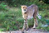 Philadelphia zoo - Cheetah on the prowl