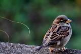 Philadelphia zoo - Sparrow