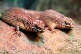 Philadelphia zoo - Hosmer's Skink