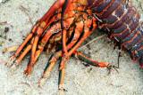 Lobster, Santa Monica, Los Angeles