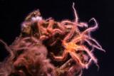 Monterey Bay Aquarium, CA - Spiny Brittle Star