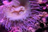 Monterey Bay Aquarium, CA - Purple Anemone