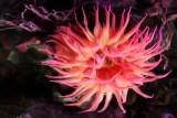 Monterey Bay Aquarium, CA - Apple anemone