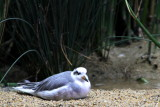 Monterey Bay Aquarium, CA - Red-necked phalarope