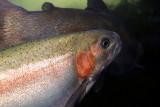 Monterey Bay Aquarium, CA - Topsmelt
