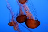 Monterey Bay Aquarium, CA - Sea Nettle