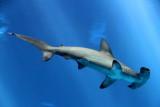 Monterey Bay Aquarium, CA - Hammerhead shark