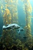 Monterey Bay Aquarium, CA - Kelp Forest
