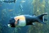 Monterey Bay Aquarium, CA - California sheephead