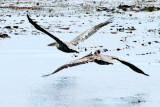 Birds in sync, 17 Mile Drive, Monterey, California
