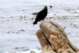Vulture, 17 Mile Drive, Monterey, California