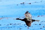 Bird take off, 17 Mile Drive, Monterey, California