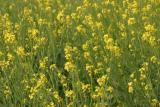Mustard fields, Vrindavan, Uttar Pradesh