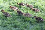Aww... baby ducks