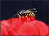 Wasp on red flower - Skanör / Sweden