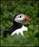 Puffins outside nestinghole at Inner Farne Island
