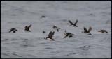 Puffins fishing outside Longstone Farne Islands