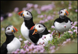 Puffins at Sumburgh Head - Shetland