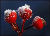 Rosehip - autums first night with below zero temperature