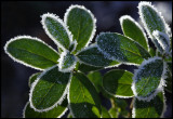 Lingonberry leafs after a cold night - Evedal