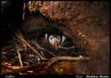 Puffins nesting hole on Inner Farne Island