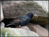 Starling colony in Veensgarth