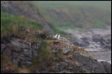 Fulmar - Shetlands most abundant bird