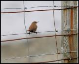 Shetland Wren