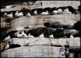 Gannets breeding at Noss