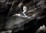 Young Gannet returning to Noss