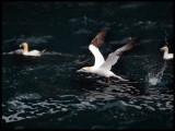 Gannets fishing near Noss