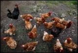 Fetlar chickens