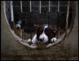 Shetland sheepdogs - Unst