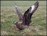 Great Skua at Hermaness - Unst