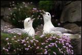 Breeding Fulmars at Sumburgh
