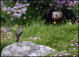 Male Common Wheatear  and Polecat