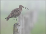 Curlew at display
