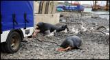 Gray Seals in Lerwick harbour